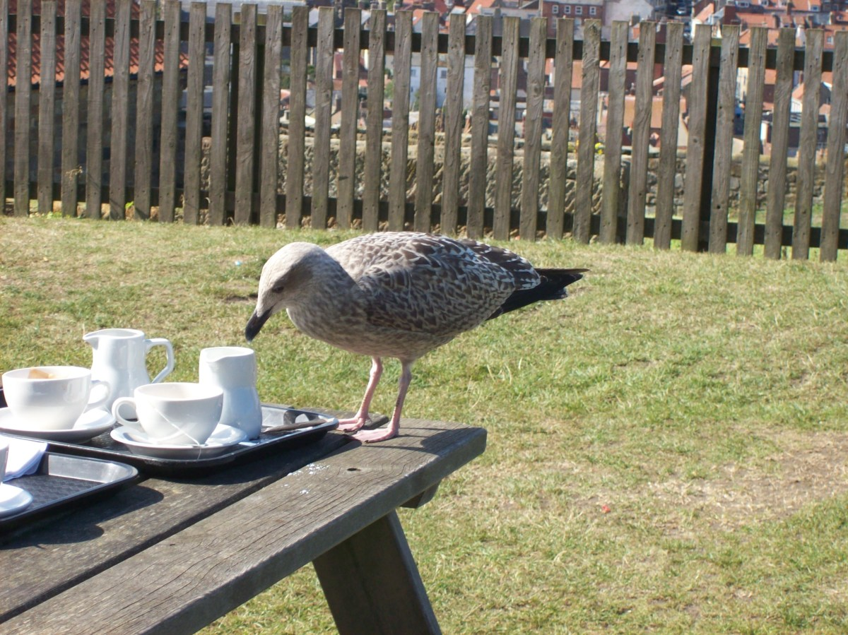 Cheeky young seagull in the tea room gardens