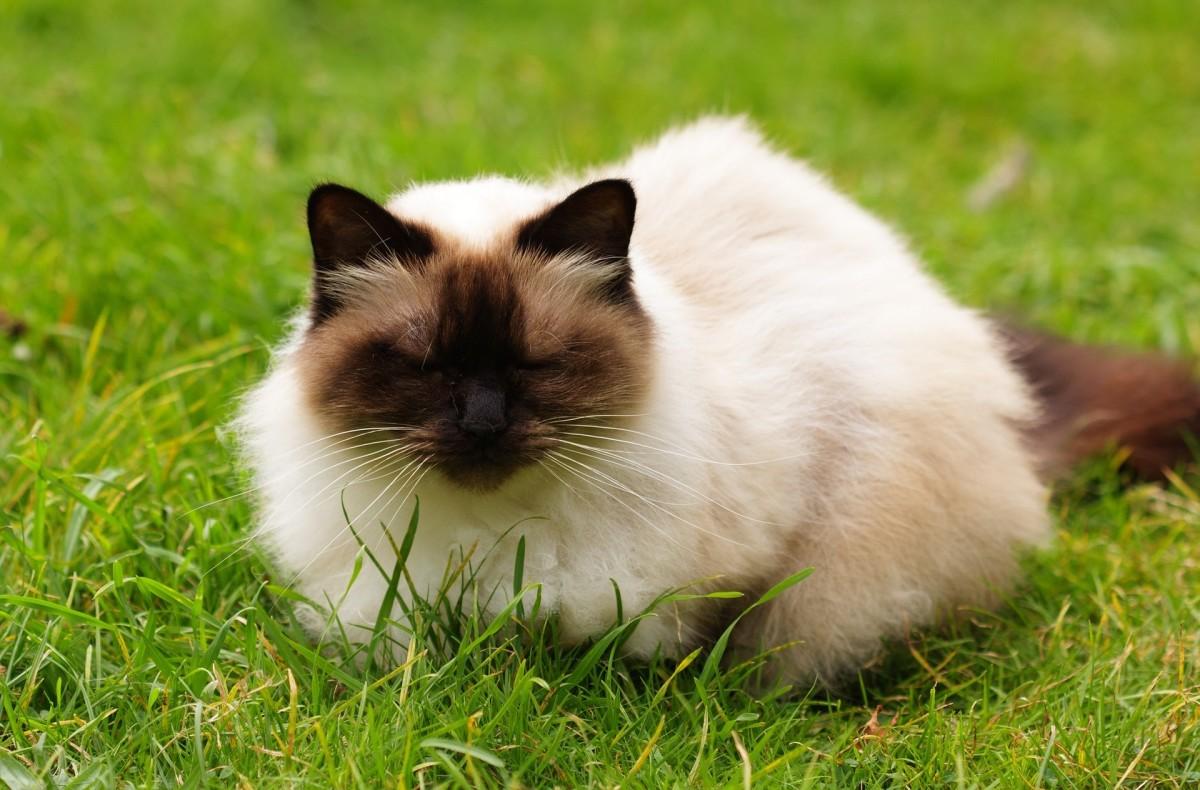 the-himalayan-cat