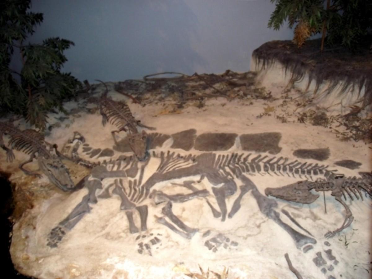 Crocodile fossils.