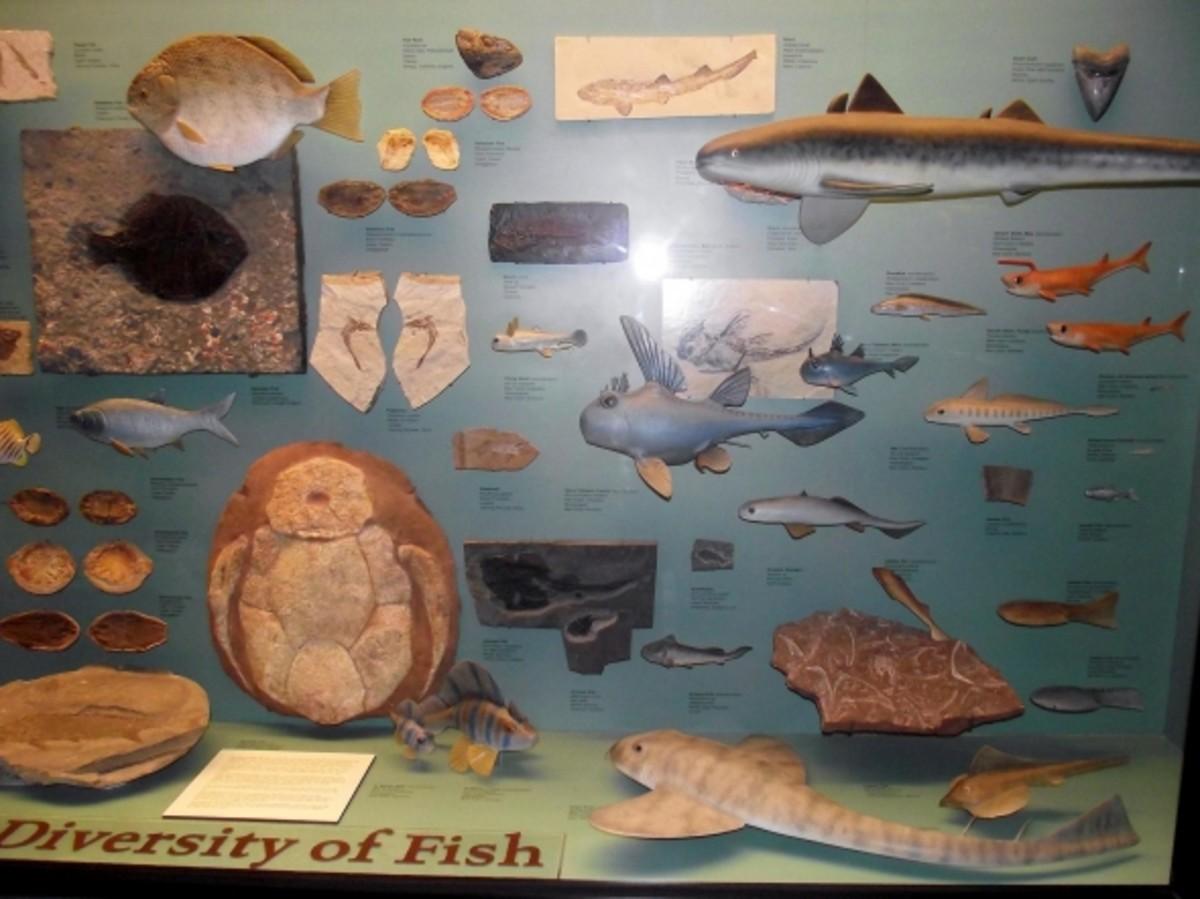 Prehistoric fish on display.