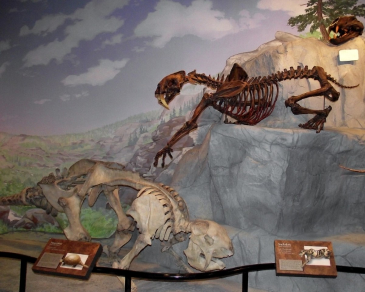 Prehistoric saber tooth cats on display.