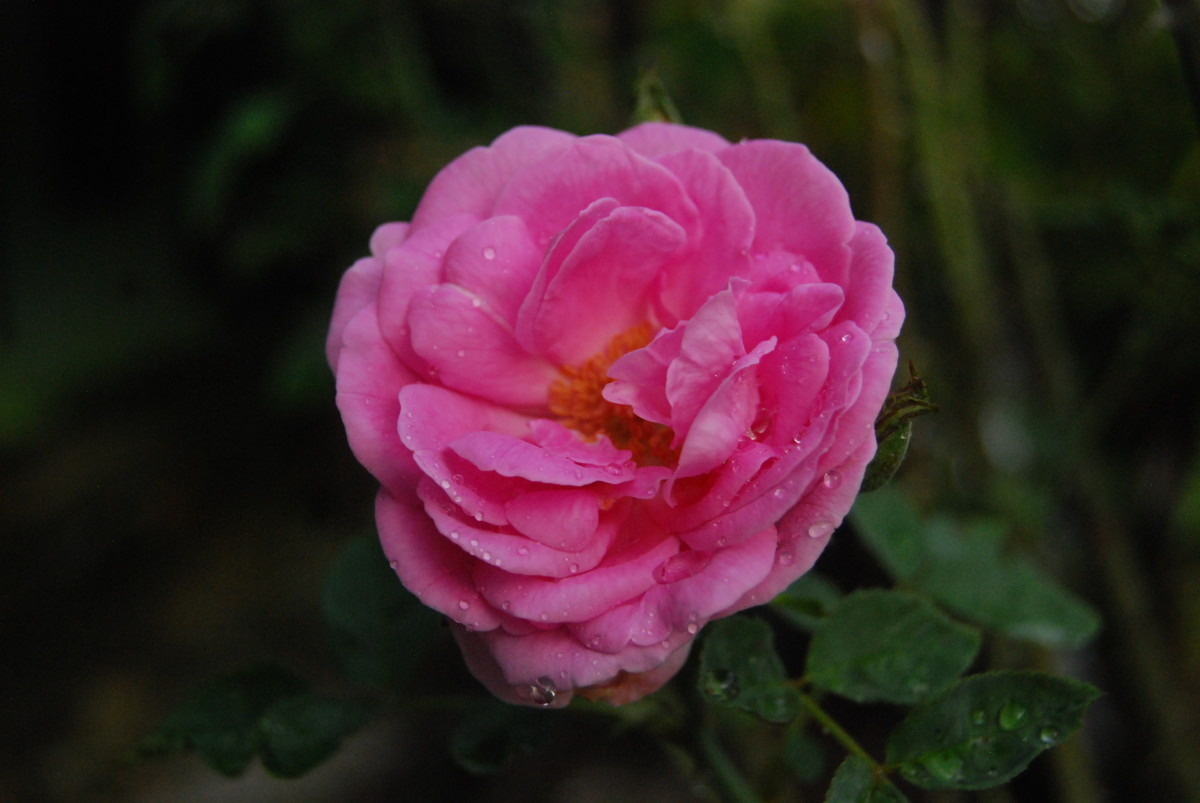 My favorite thing to do in the morning is to smell the blooming rose in the garden.