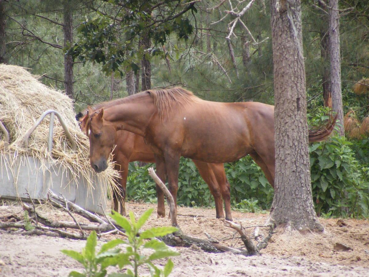 Sorrels and bays are reddish-brown.