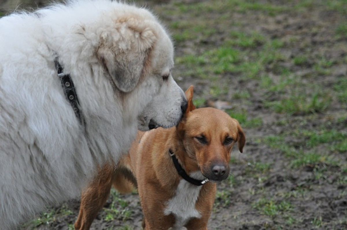Pyrenean Mountain Dog sniffing other dog