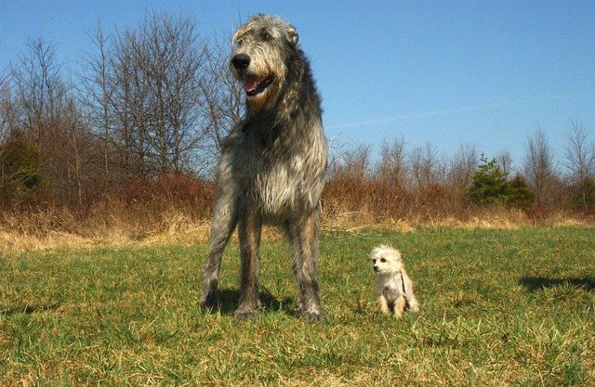 Irish Wolfhound next to smaller dog
