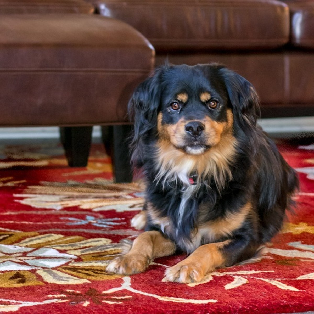 how-to-stop-a-dog-from-jumping-up-the-couch-and-other-furniture