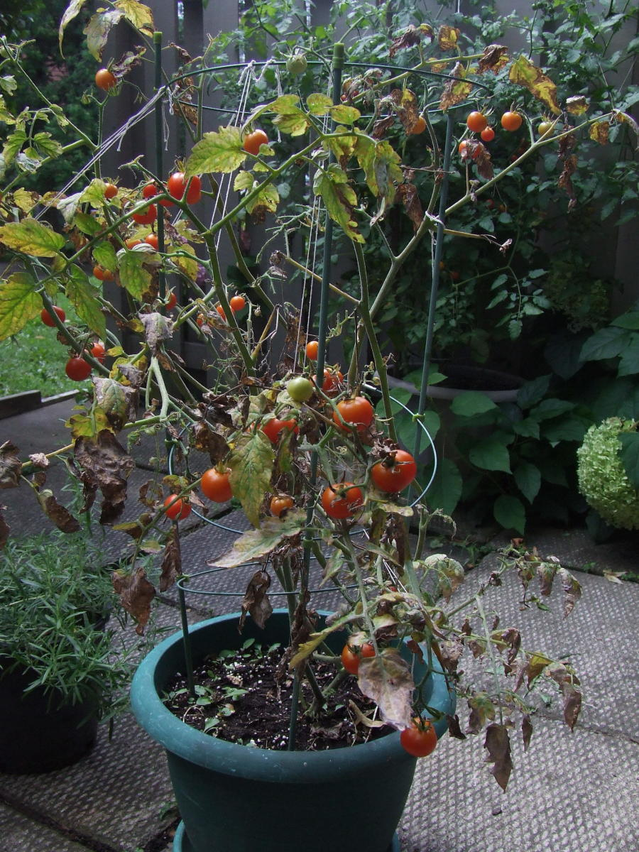 One tomato plant killed-off by blight and one tomato plant behind it, doing quite well.