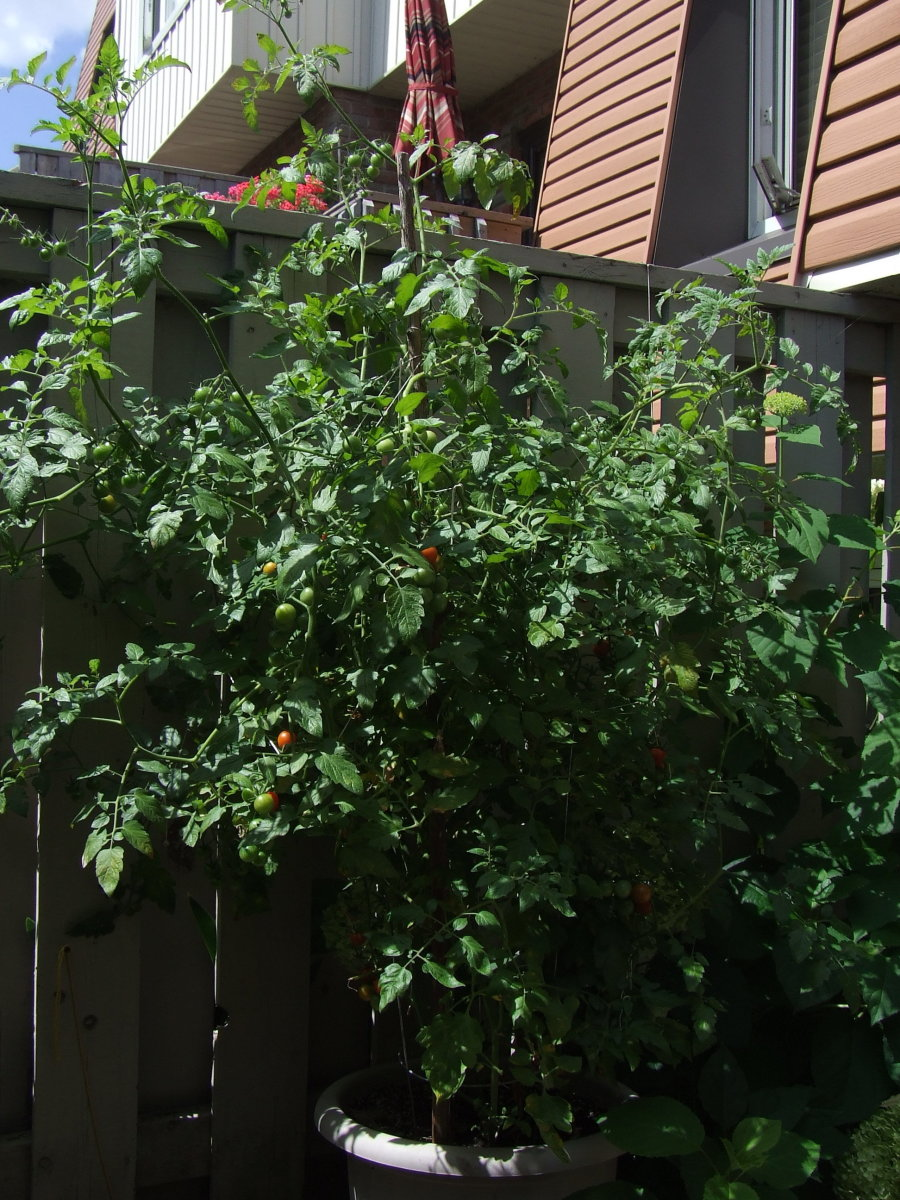 A tomato plant which is doing quite well even though it also has blight but taking care of it has saved it.