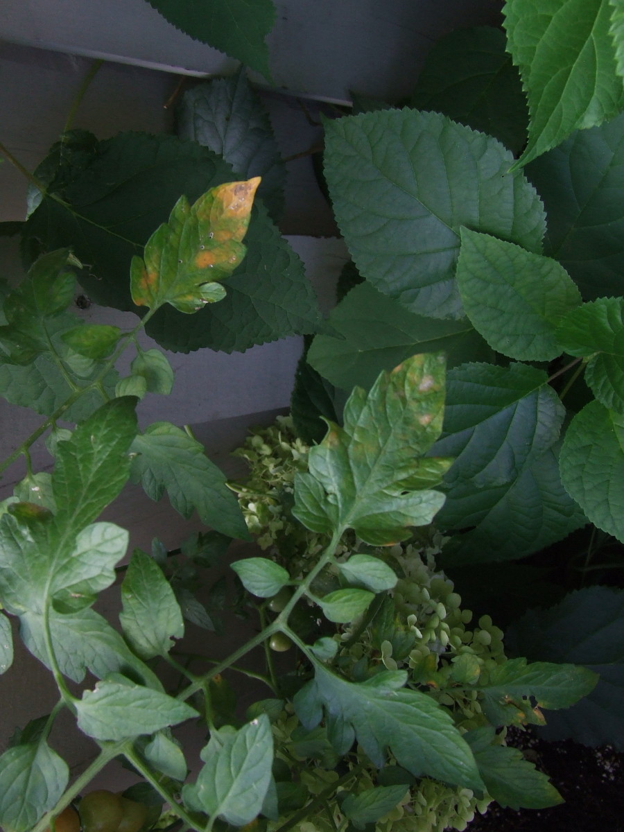 This is what can be seen on leaves as blight starts attacking the plant.Cutting-off these leaves will help in stopping the spread.