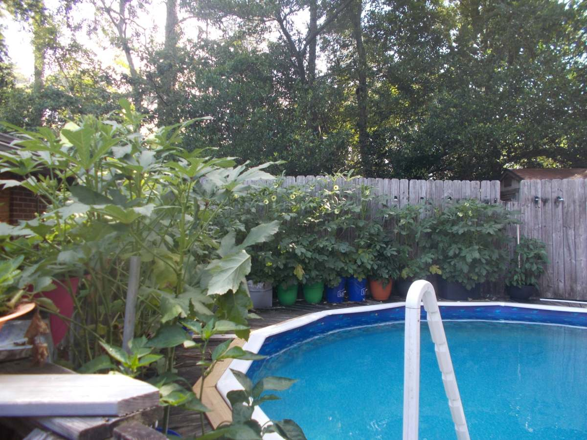 This is when the okra plants were about 6 or 7 feet tall.