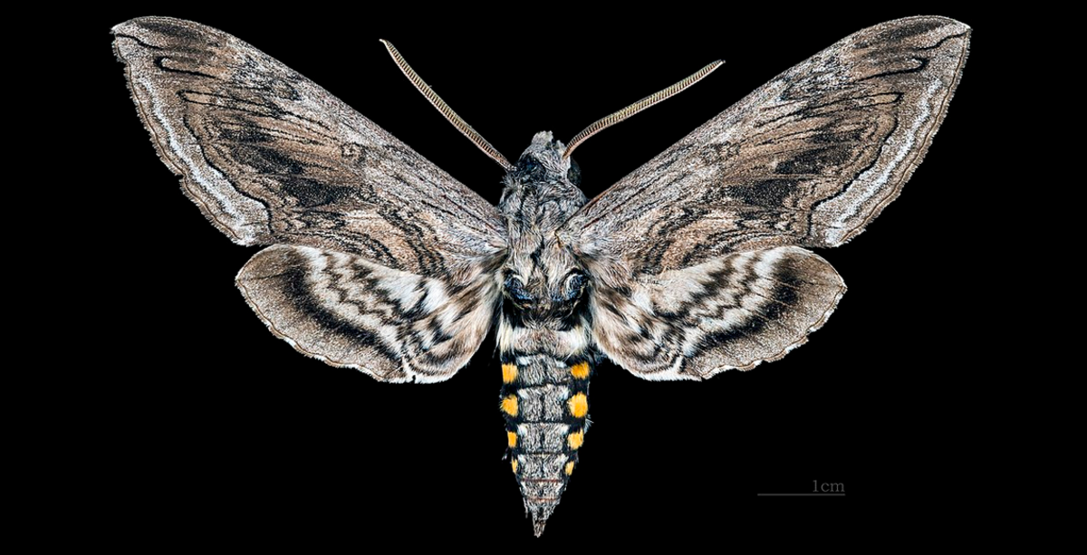 The tomato hornworm turns into this huge moth.