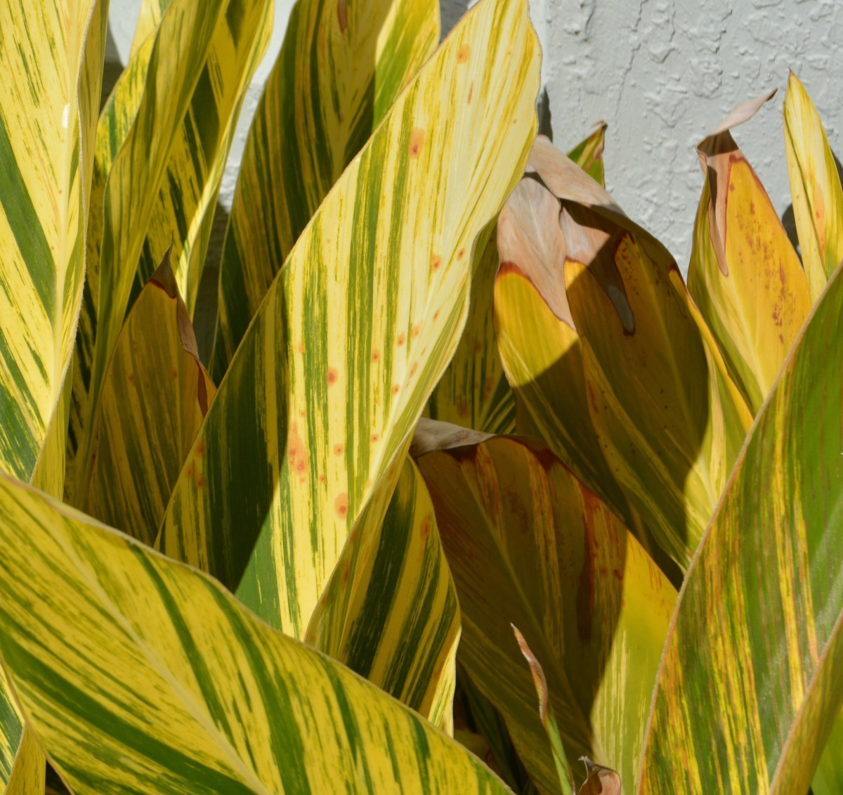 The brown leaf tips and spots typical of drought conditions
