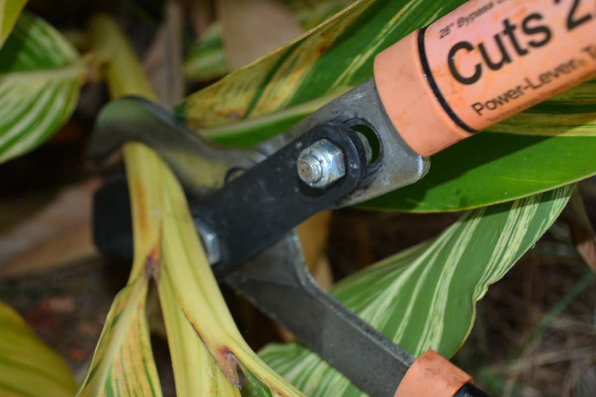 Sometimes the larger stems require loppers rather than small hand-held pruners.
