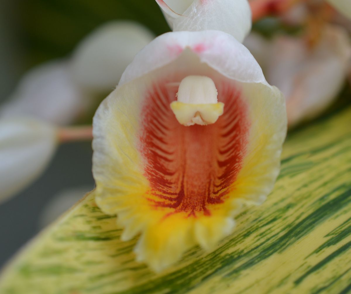 """The tiny orchid-like flowers that also resemble seashells, hence the common name """"shell ginger""""."""