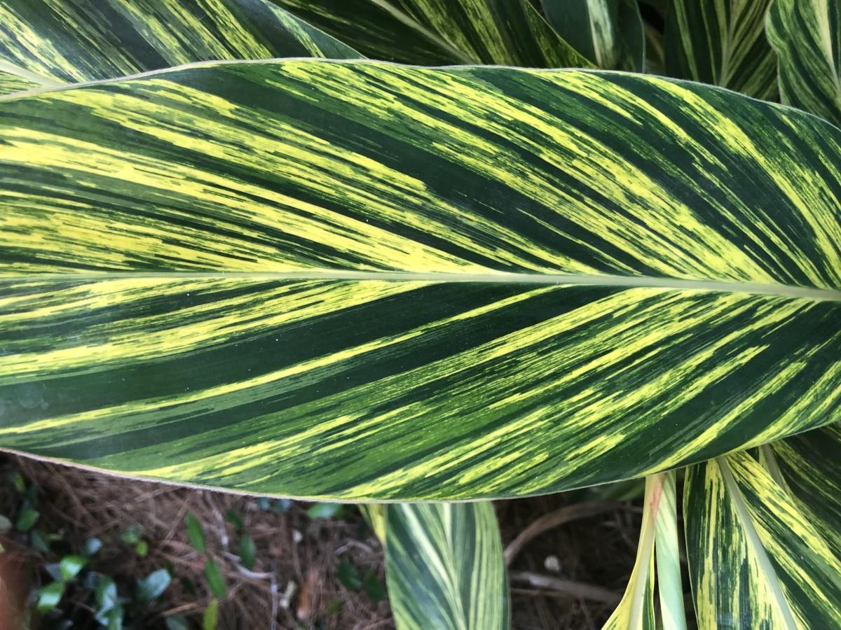 Close up of a large variegated ginger leaf