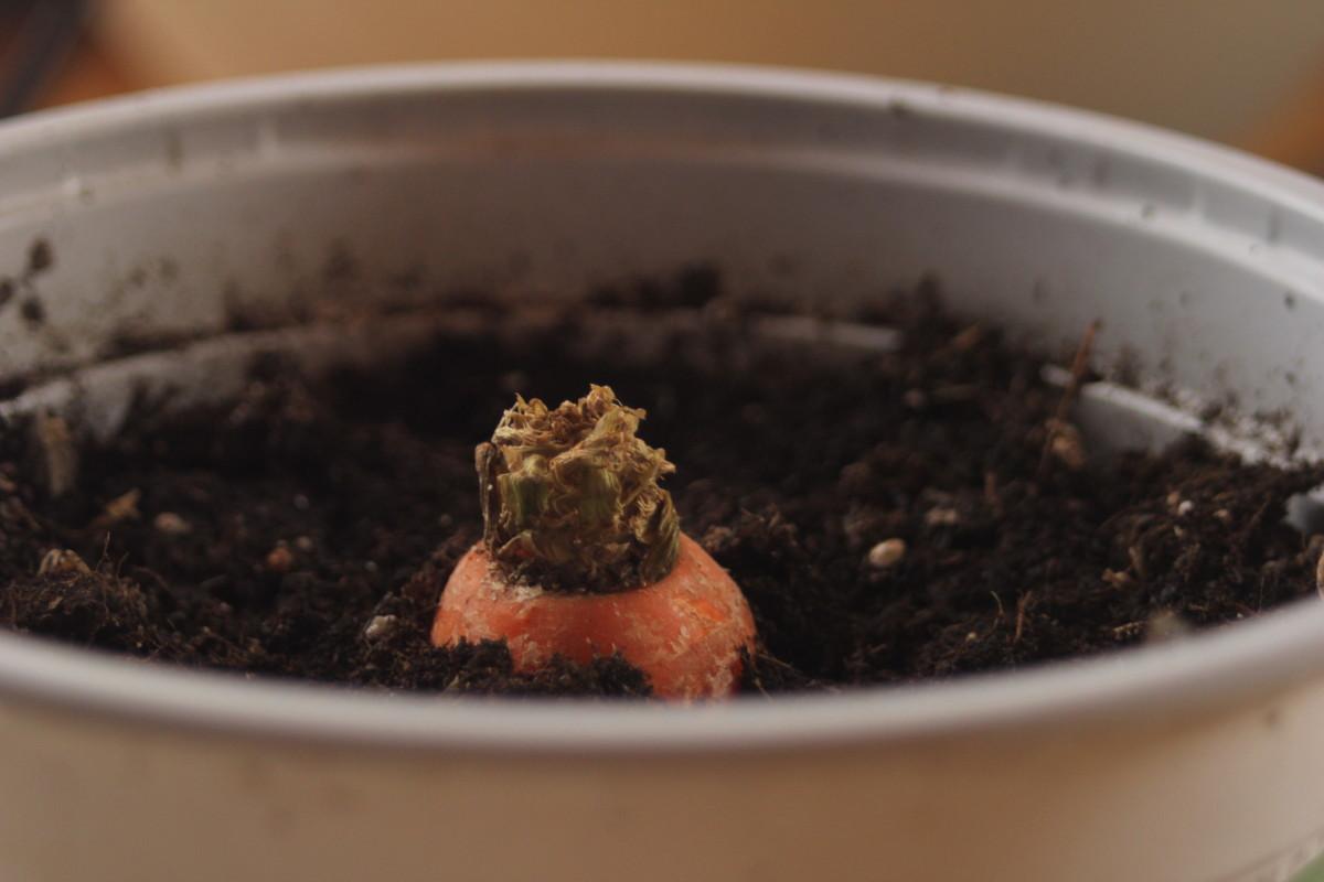Regrowing a carrot top