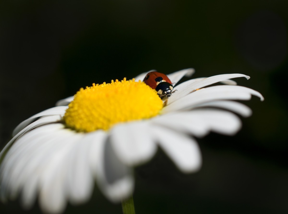 Daisies are one type of flower that ladybugs can't resist.