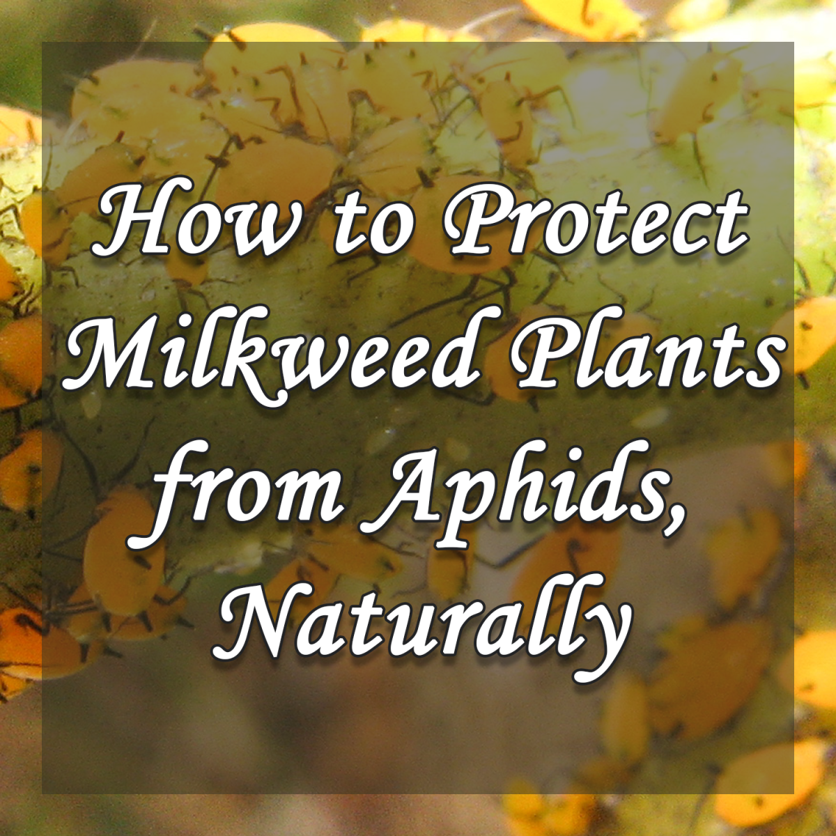 How to Protect Milkweed Plants from Aphids, Naturally