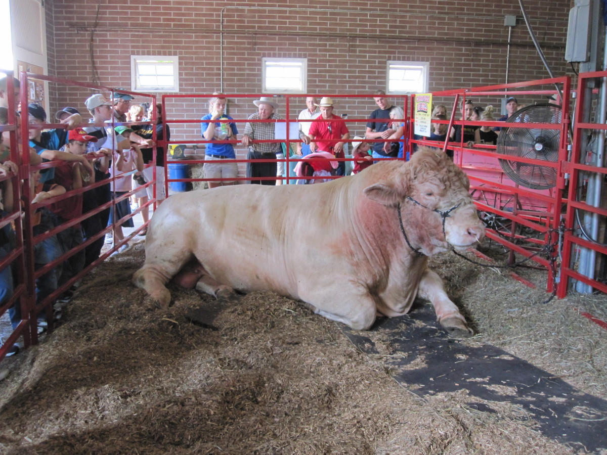 The champion bull of the 2011 fair.