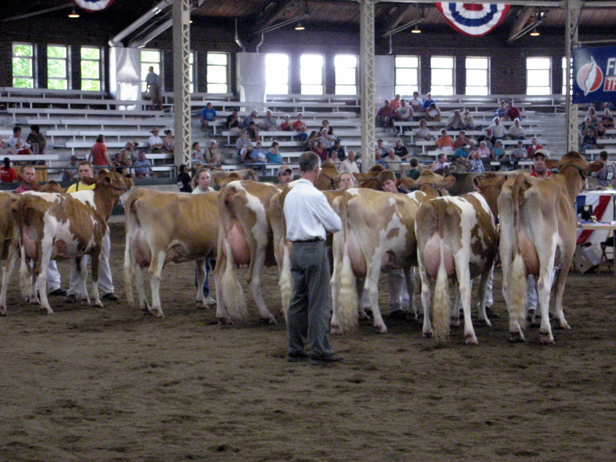 Judging a dairy cow class.