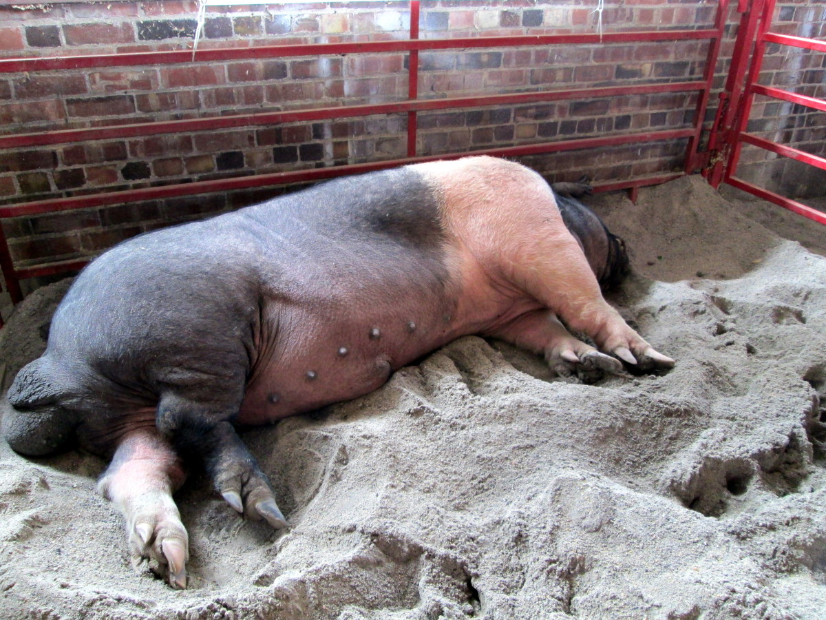 Otis, the Champion Big Boar at the 2013 fair, weighing in at 1,103 pounds.