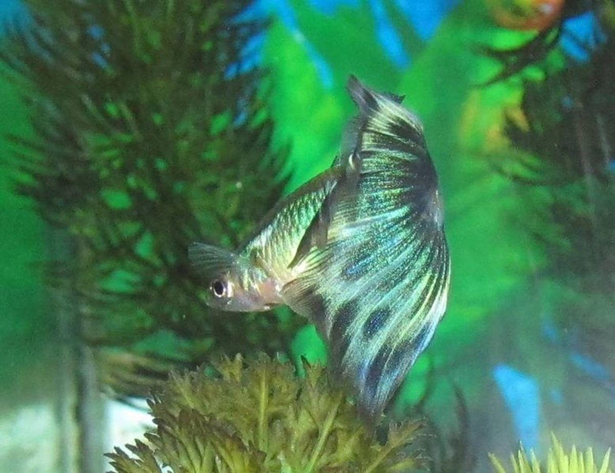 Best Tank Mates for Guppies