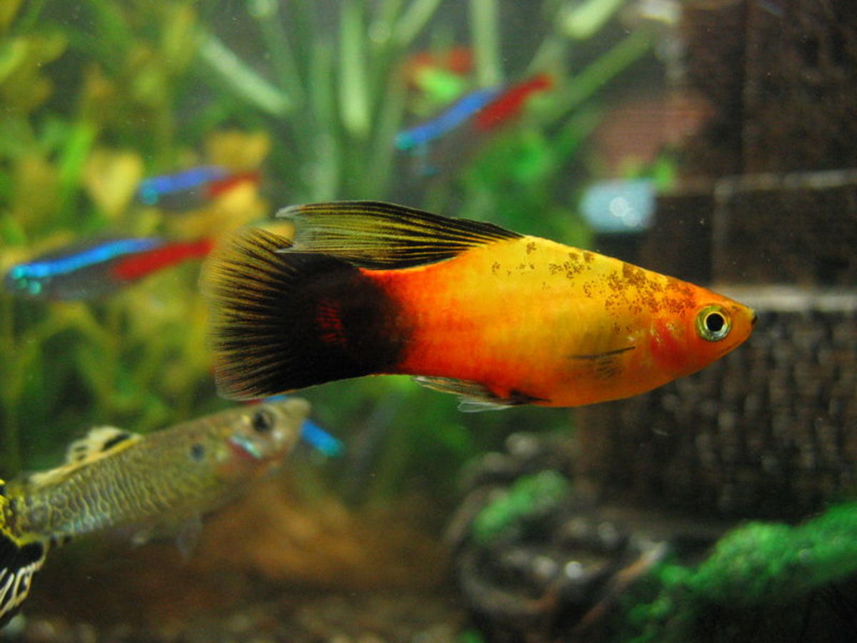Platy Fish (Guppy and Neon Tetras in Background)