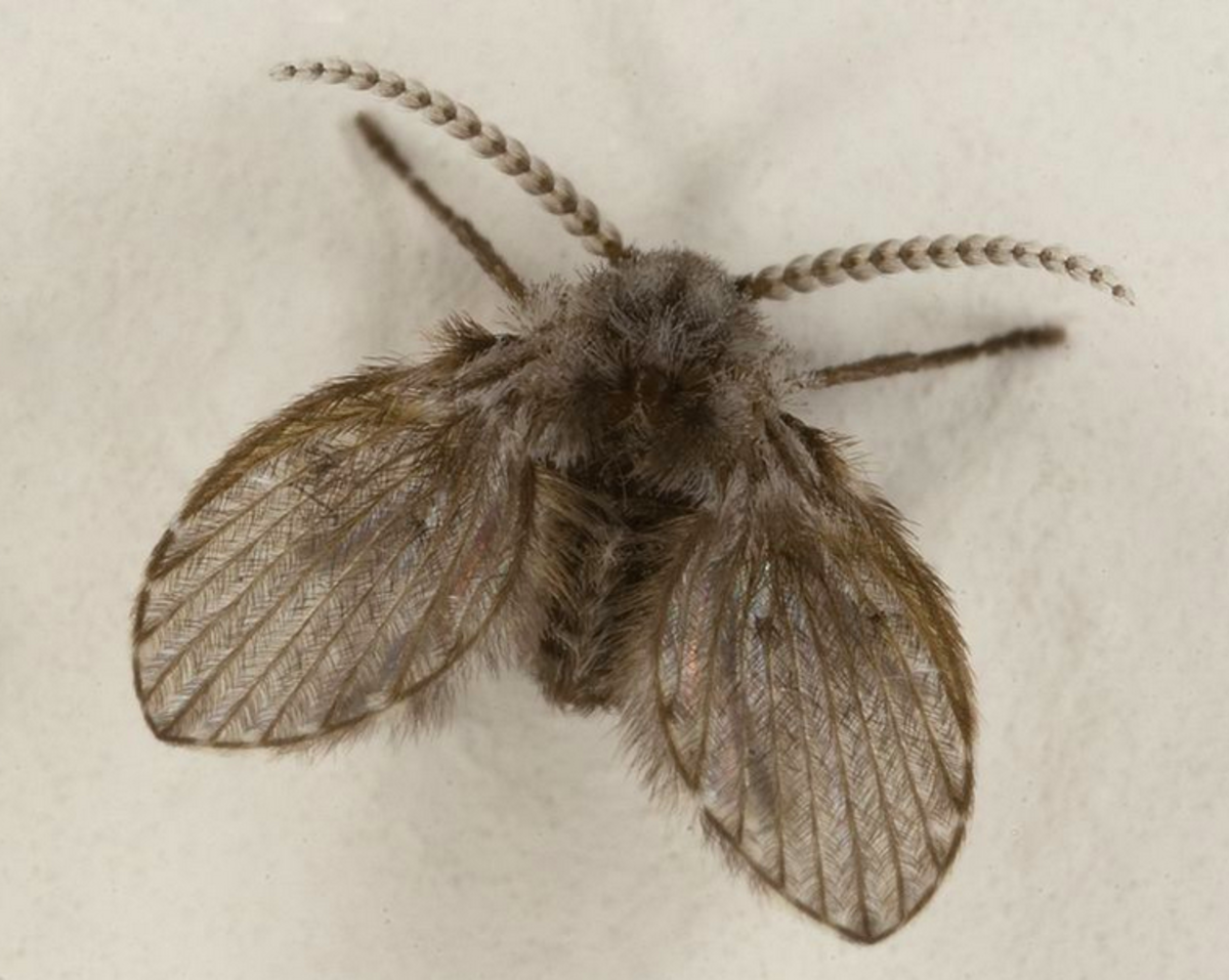 A moth fly, also called a drain fly