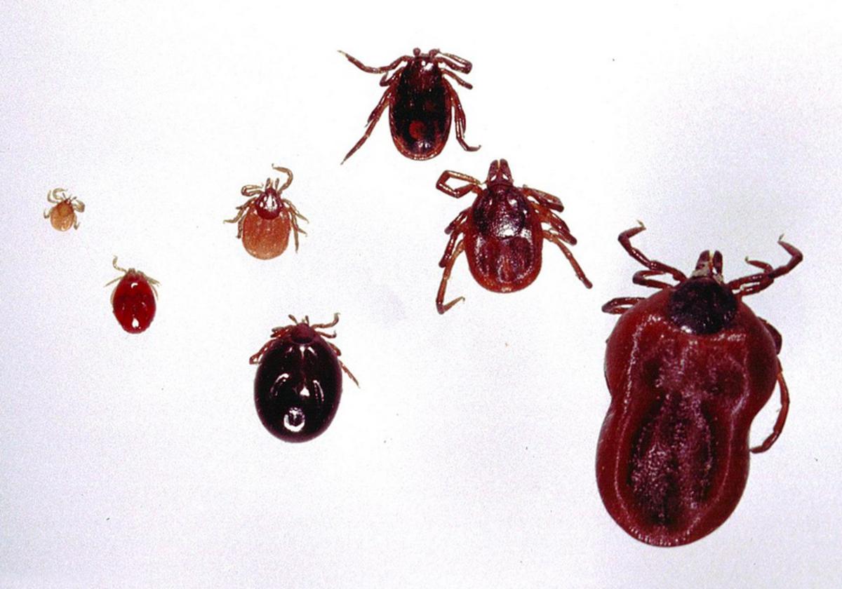 Deer ticks at various stages of development