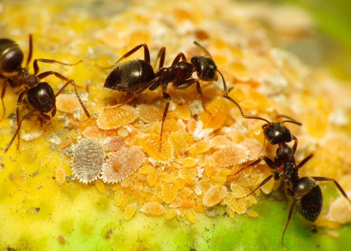 Common black ants