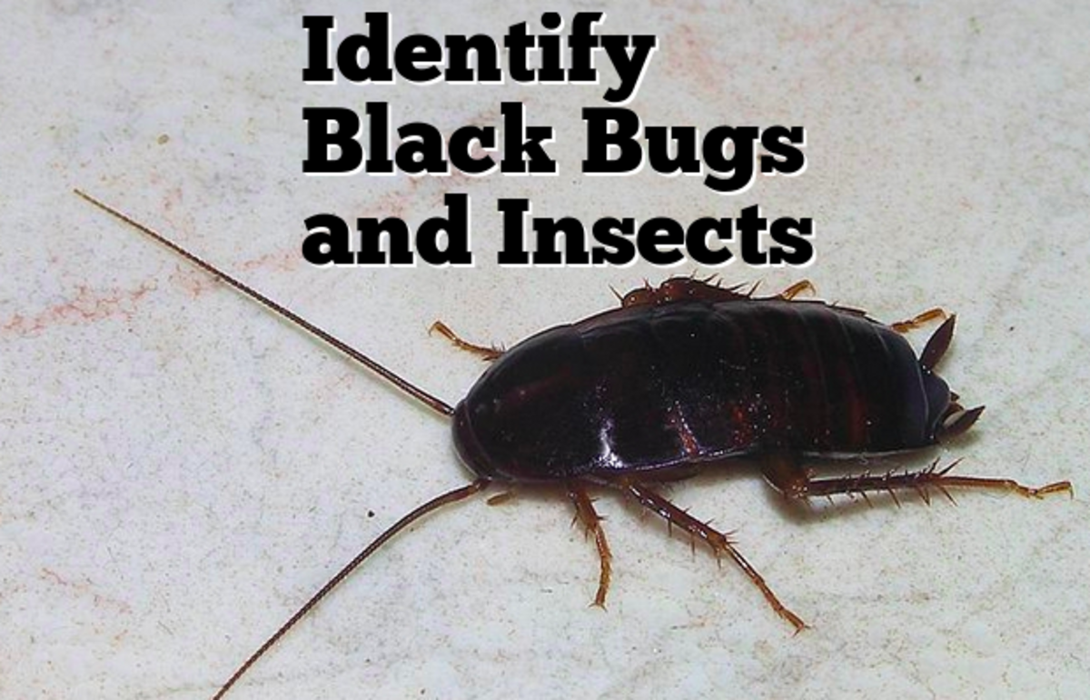 The oriental cockroach is one of the black bugs in this guide