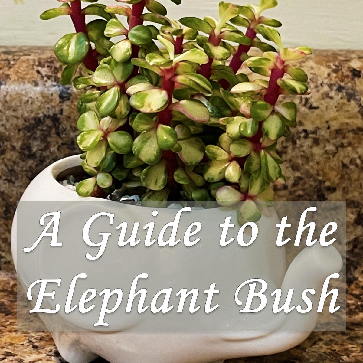 A Guide to Portulacaria Afra: The Elephant Bush