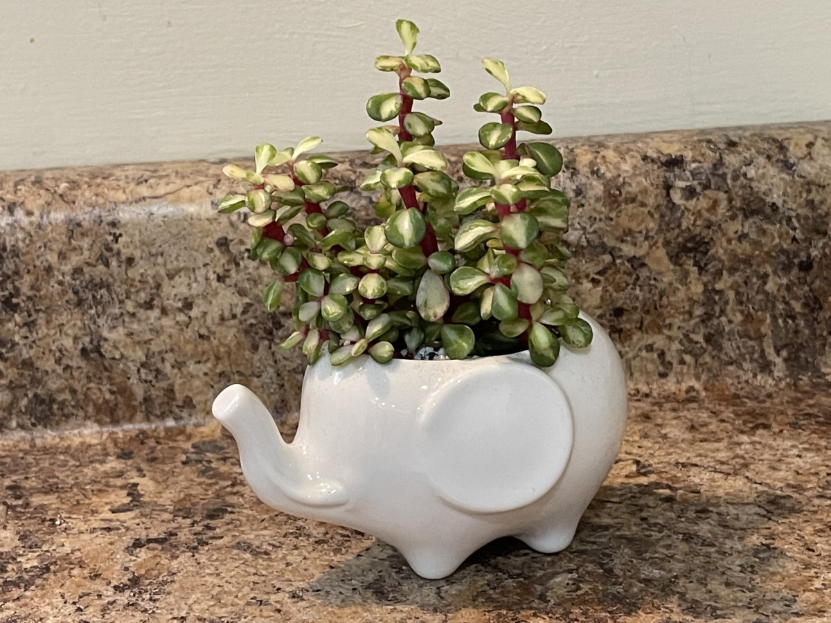 Mid-stripe rainbow elephant bush, Portulacaria afra 'Medio-picta' in an elephant-shaped planter on my kitchen counter. This is probably my favorite of the three varieties.