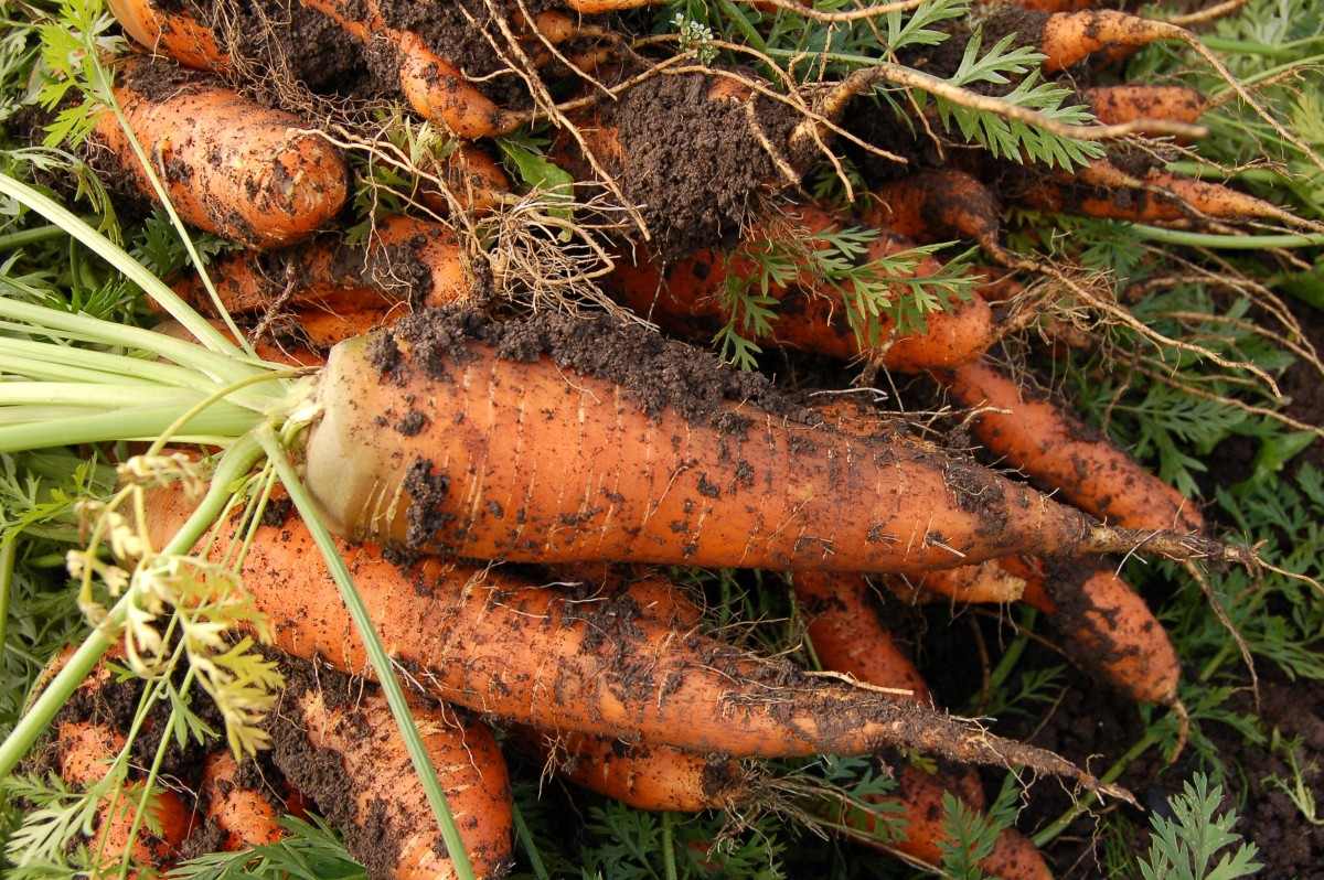 The soil on unwashed vegetables can contain the Toxoplasmosis parasite