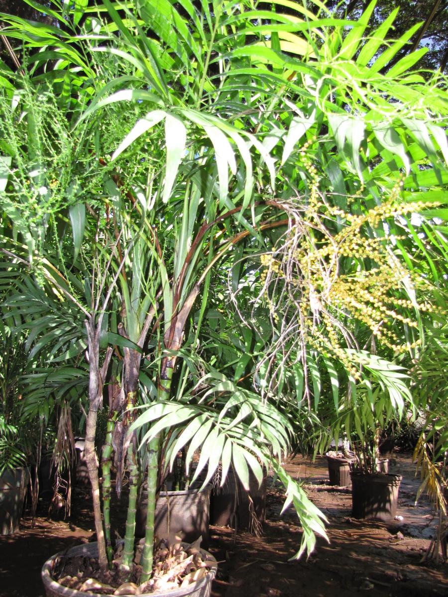 Chamaedorea elegans (Parlor palm, neanthe bella, good luck palm) Habit at Resort Management Group Nursery Kihei, Maui, Hawaii. February 09, 2011