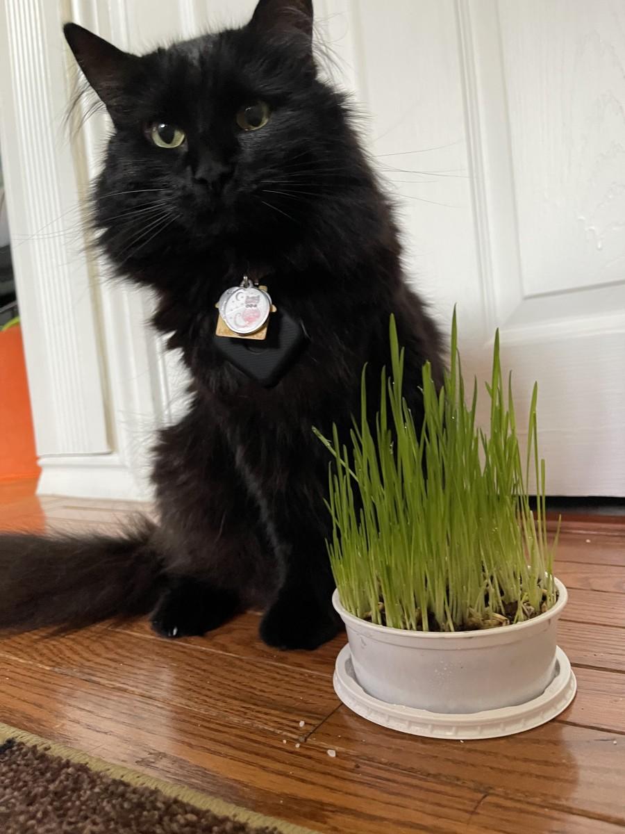 Freyja with some cat grass.