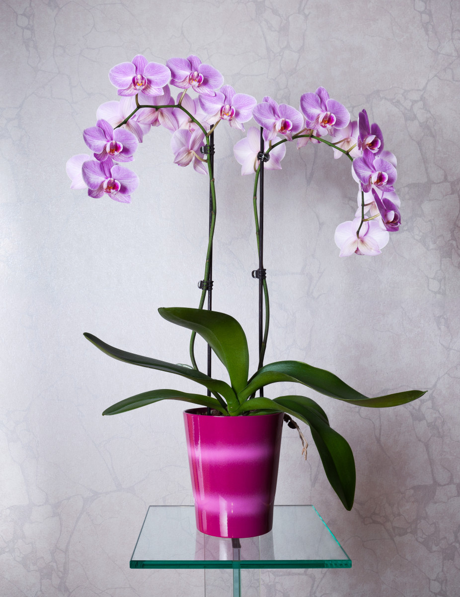 Phalaenopsis cultivar with two flower spikes
