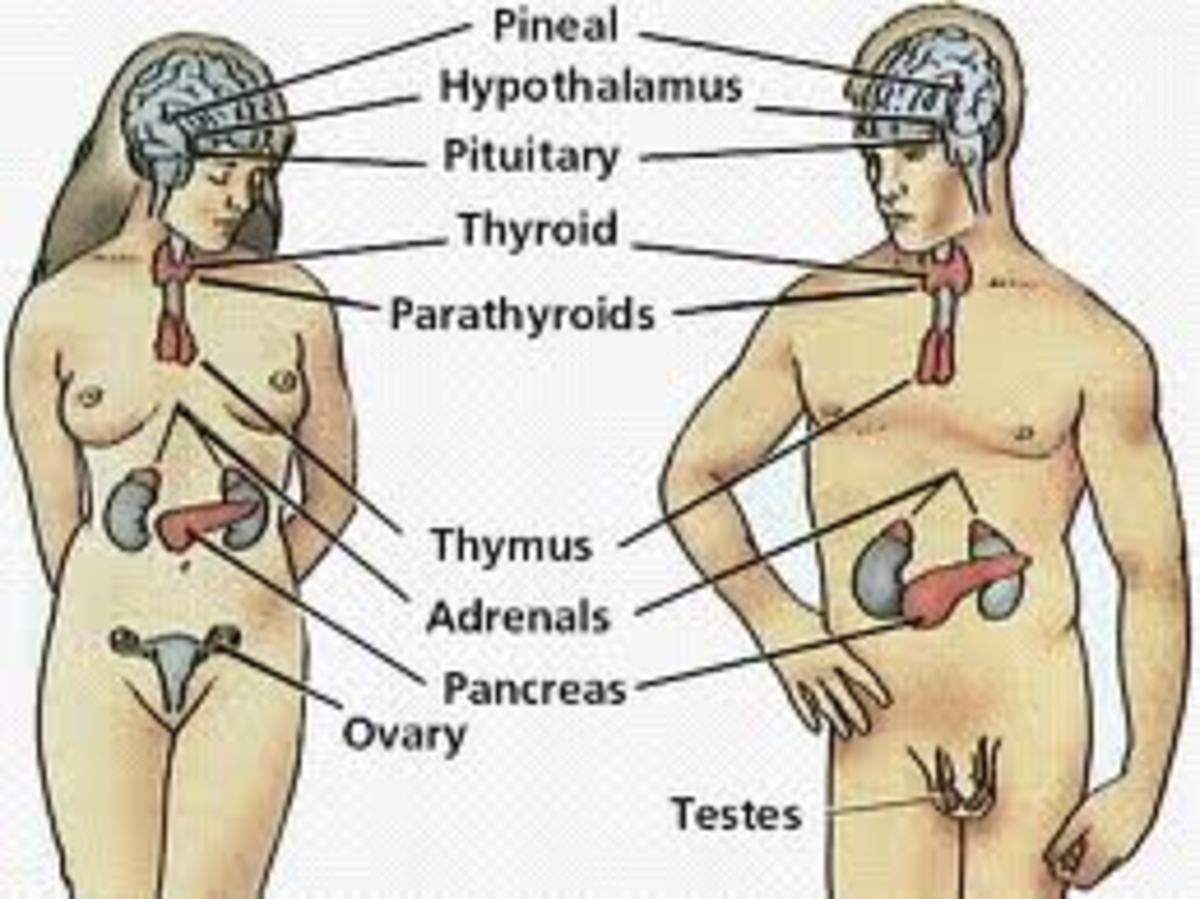 The Endocrine System - Its Various Glands and Hormones