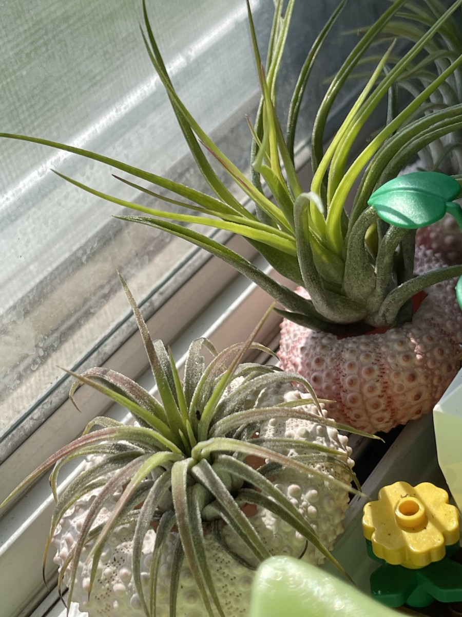 Close-up of air plants.
