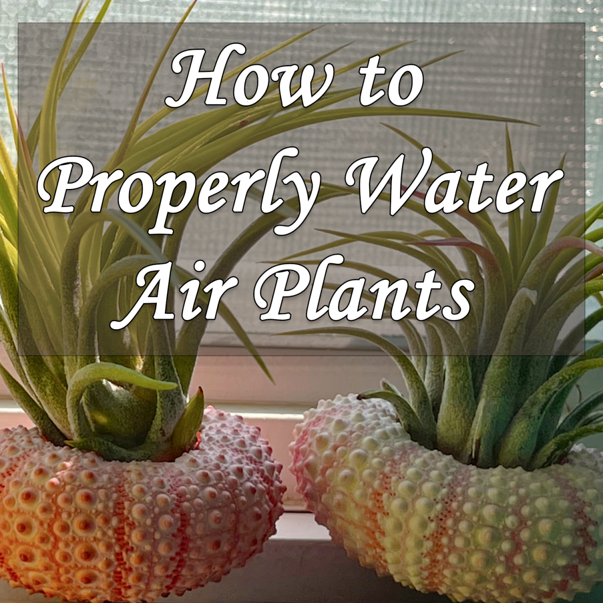 How to Properly Water Air Plants