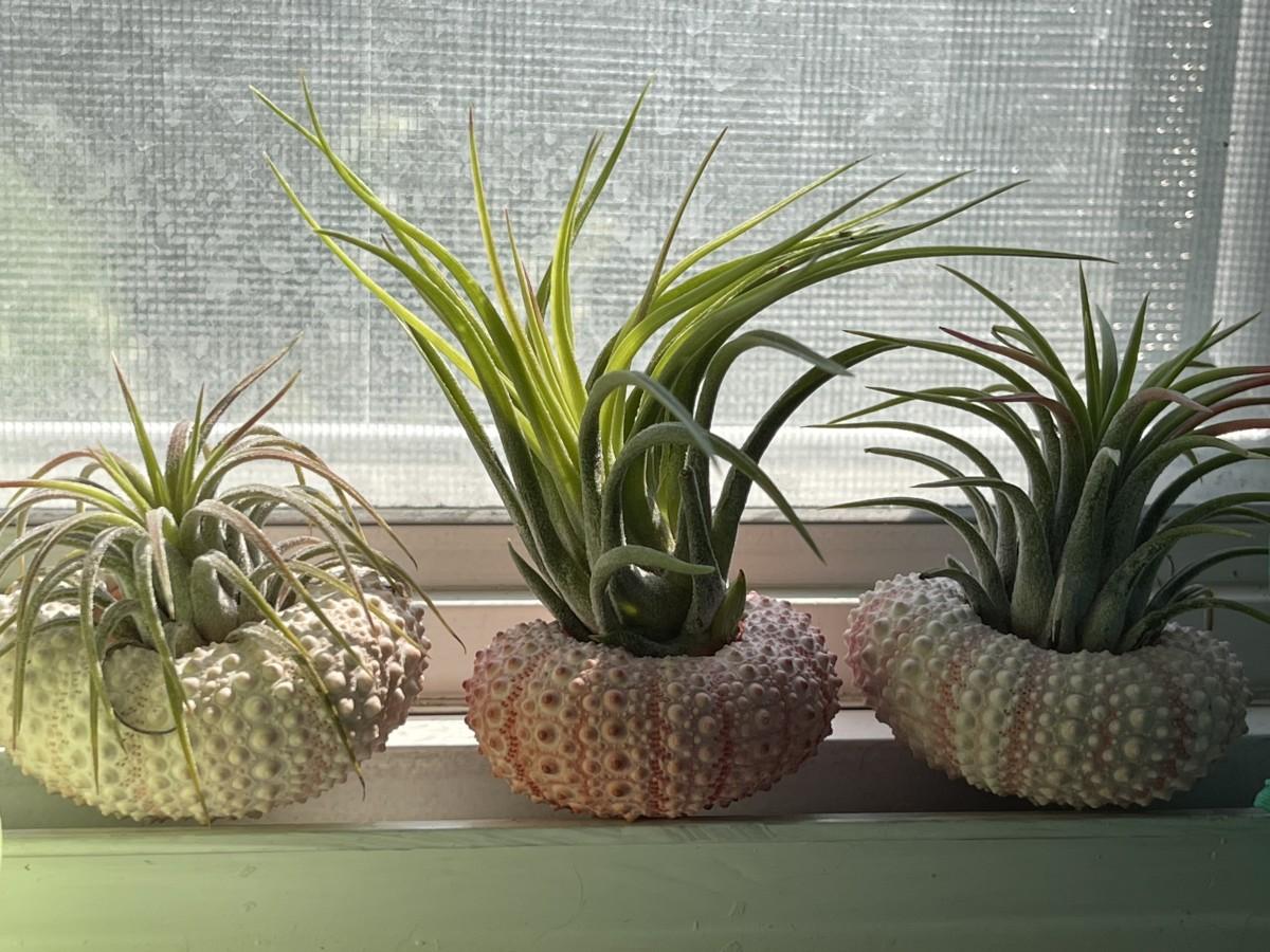 Air plants sitting on seashells.