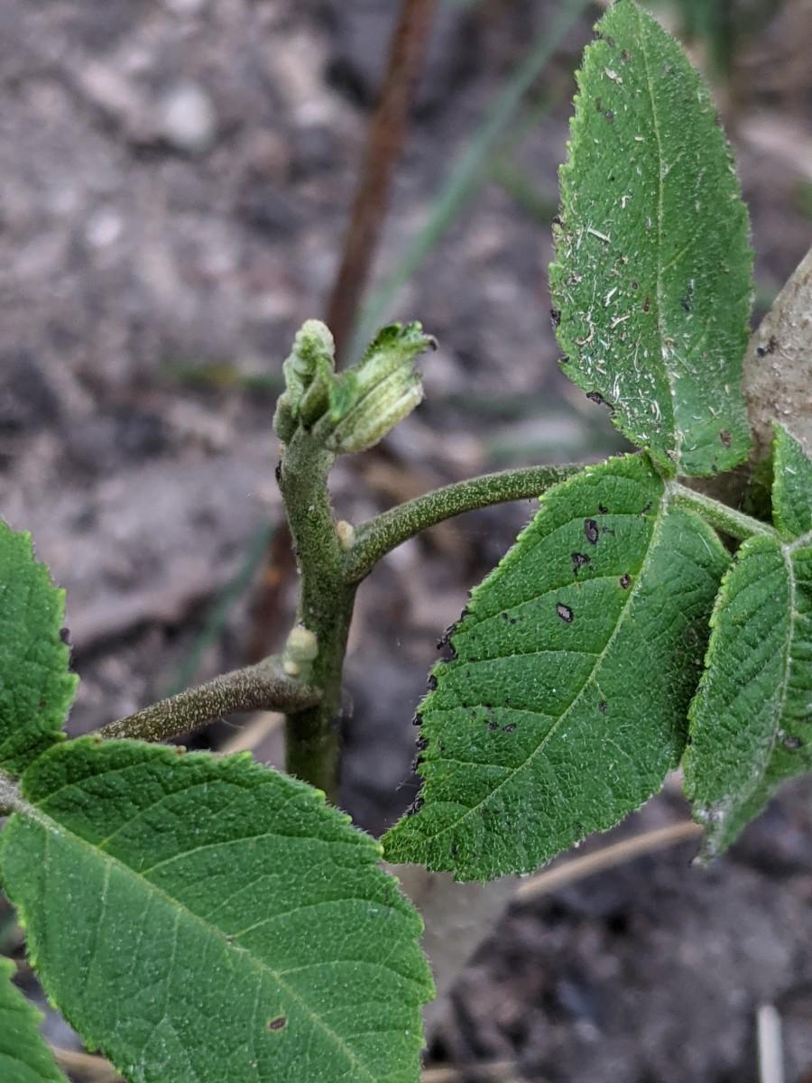 butternut-tree-ordering-from-an-online-nursery
