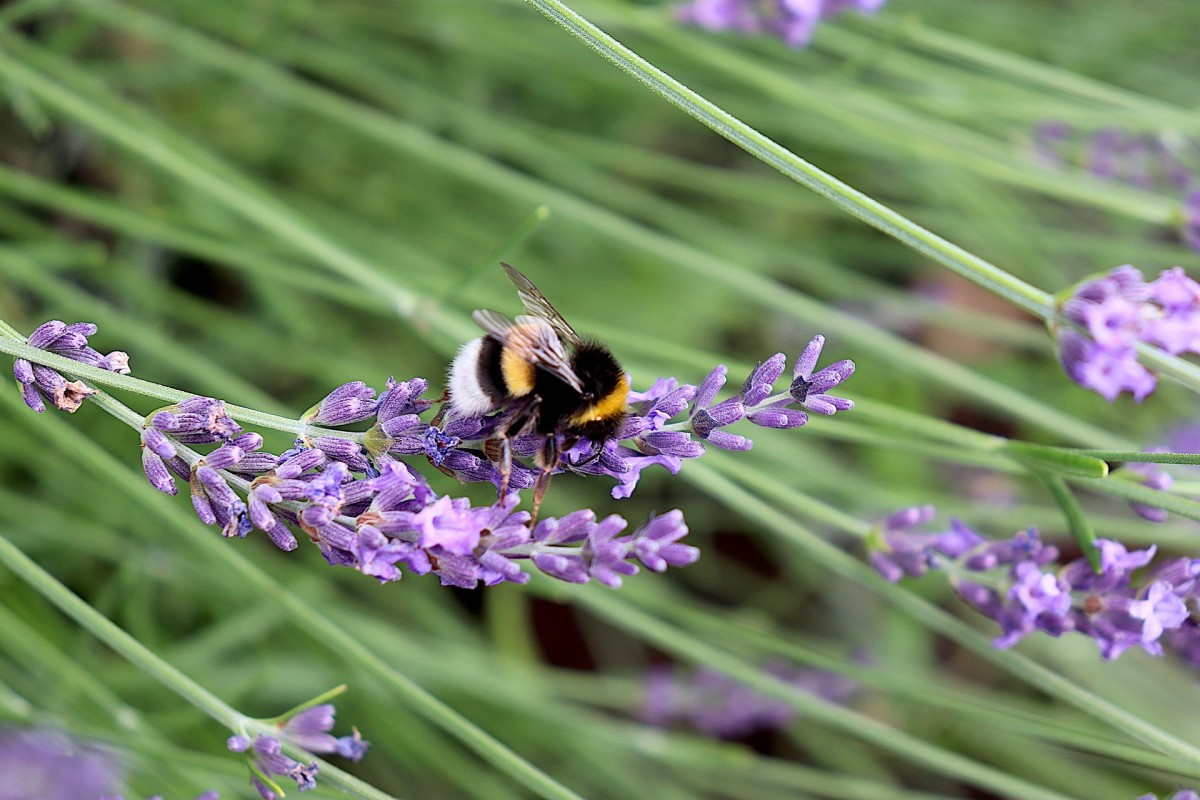 Chickens will stay away from lavender, and as a bonus, it is great for bees!