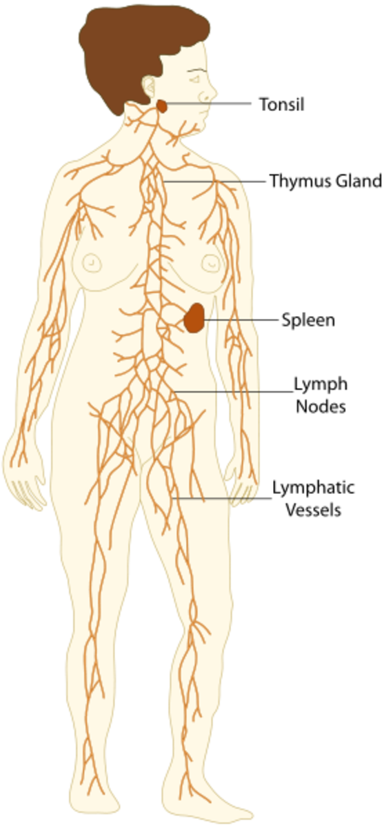 Lymphatic system diagram. Image Credit:TheEmirr via Wikipedia Commons.