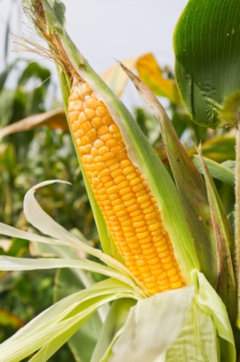 Most corn products are made with GMO corn.