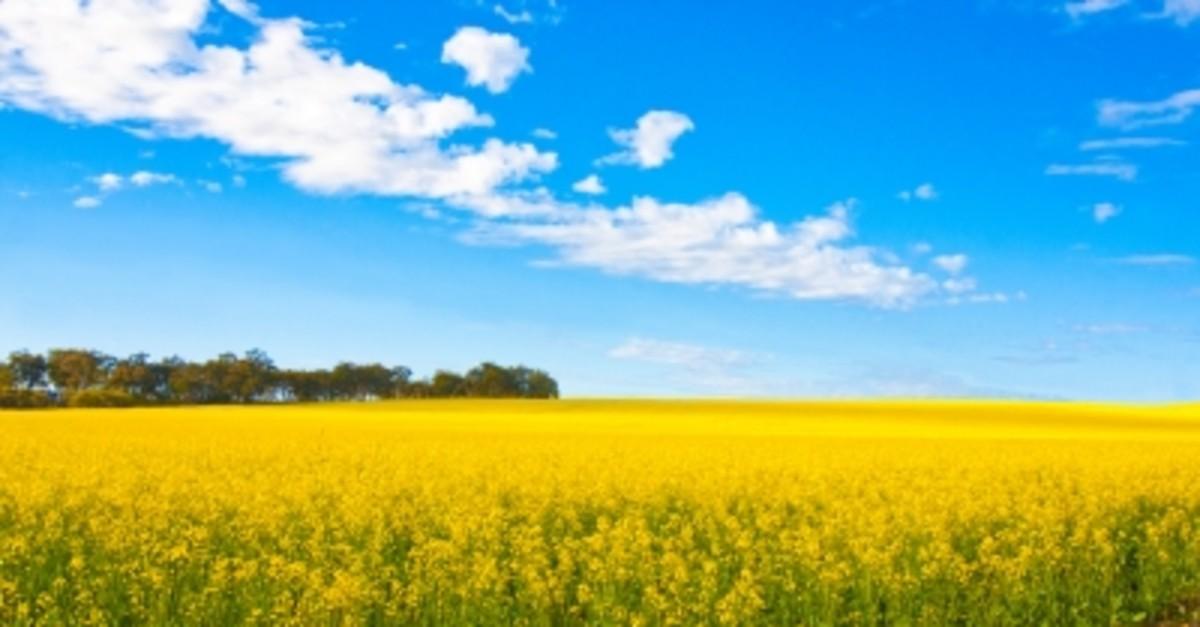 Canola fields ~ avoid canola oil.