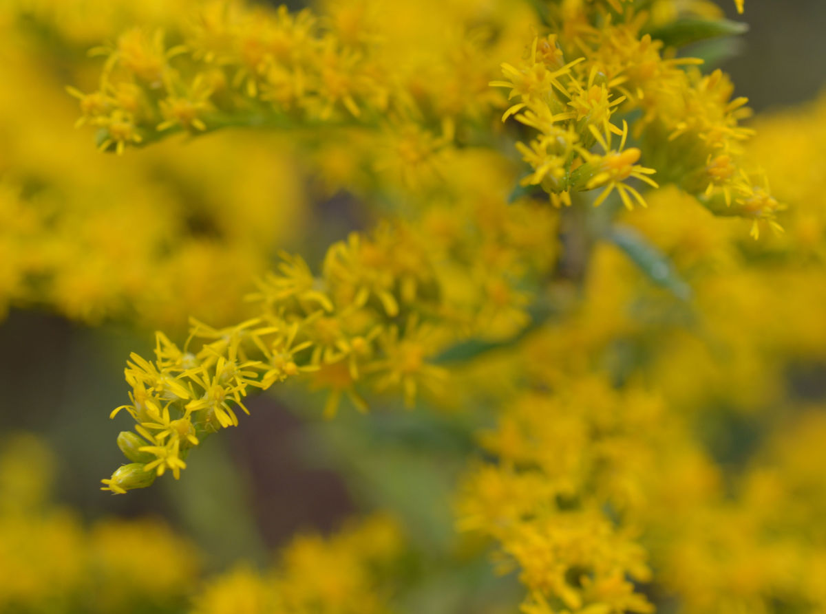 These tiny flowers grow on stems that make up large cluster of flowers.
