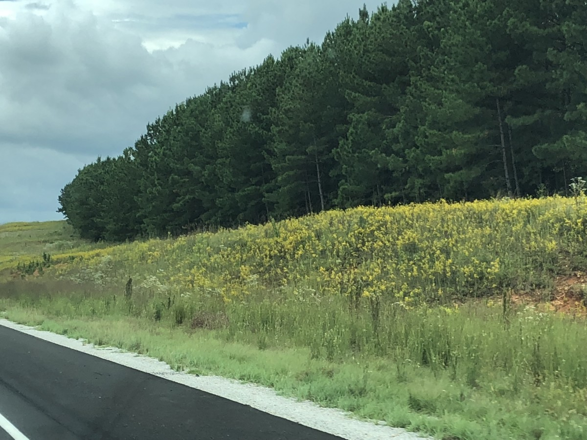 goldenrod-weed-or-wildflower