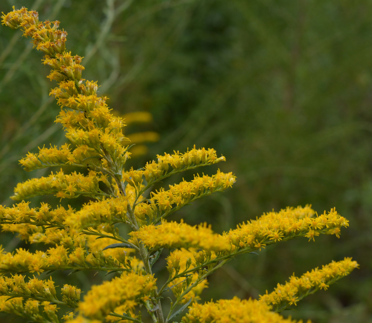Goldenrod, Weed or Wildflower?