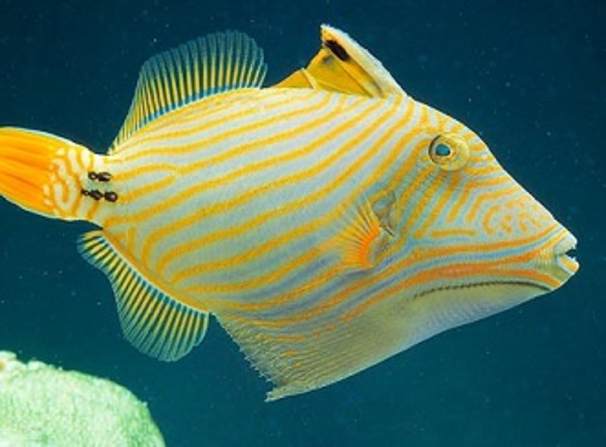Triggerfish Aquarium With Picasso, Undulated, Niger: Care and What You Can Put in Your Tank With Them